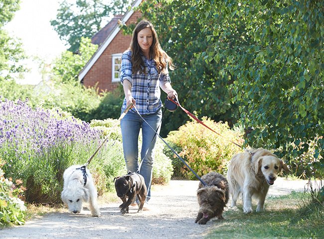 Woman walking four dogs on leashes
